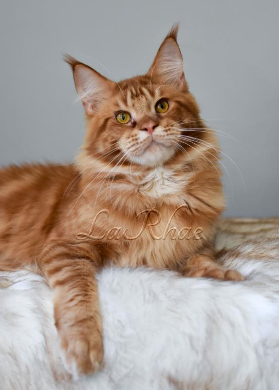 Maine Coon Cat Alters of LaRhae Maine Coon Cats Washington