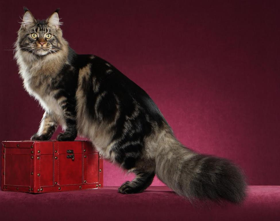 Maine Coon kittens Washington State of Larhae Coons